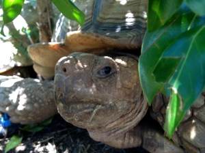 Lil' tortoise not too happy to be woken up from his nap