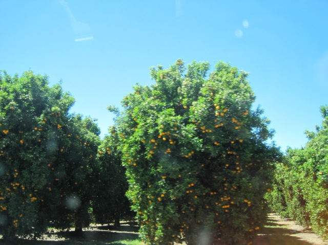 California orange trees are happy orange trees