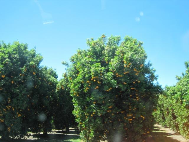 California orange trees are happy orange trees