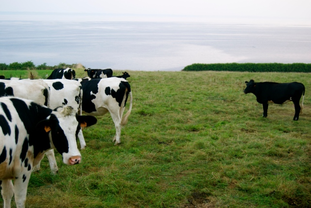 Happiest cows on earth...look at their view!